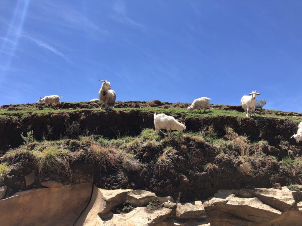 Malealea goats